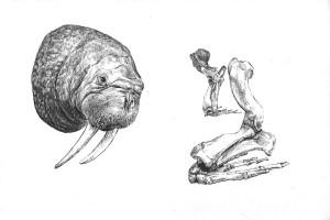 Walrus I